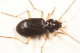 Nebria lacustris