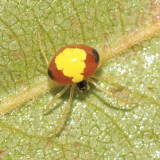 Theridula emertoni