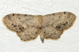 7126 - Single-dotted Wave - Idaea dimidiata