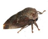 Ophiderma salamandra