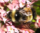 Yellowbanded Bumble Bee - Bombus terricola