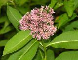 Common Milkweed - Asclepias syriaca