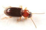 Acupalpus pauperculus