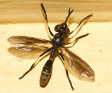 Physoconops obscuripennis