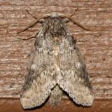 7998 - Variable Oakleaf Caterpillar Moth - Lochmaeus manteo