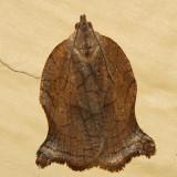 3658 - Omnivorous Leafroller - Archips purpurana