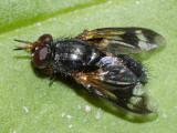 Euthera tentatrix