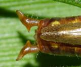 Short-winged Meadow Katydid - Conocephalus brevipennis