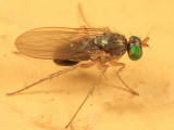 Gymnopternus pseudodebilis