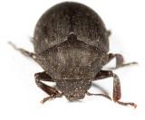Pill Beetles - Byrrhidae