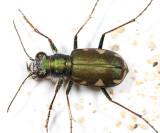 Cicindela scutellaris