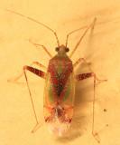 Phytocoris tibialis