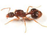 Ants subfamily Myrmicinae