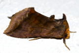 8898 - Unspotted Looper Moth - Allagrapha aerea