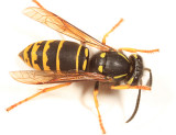 Vespula vidua (Ground Hornet)