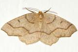 6888 - Hemlock Looper - Lambdina fiscellaria