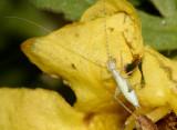 Snowy Tree Cricket  - Oecanthus fultoni (nymph)