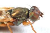 Chaetopsis aenea