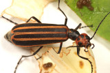 Blister Beetles - Meloidae