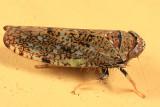 Leafhoppers genus Orientus