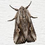 9582 - Gray Half-Spot - Nedra ramosula