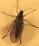 Dark-winged Fungus Gnat - Sciaridae