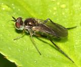 Rhaphium sp.