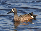 Blue-winged Teal - Anas discors (male)