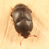 Brachypterolus pulicarius