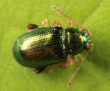 Crepidodera sp.