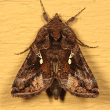 8908 - Common Looper - Autographa precationis