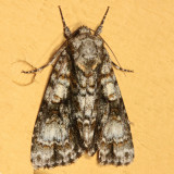 9226 - Splendid Dagger - Acronicta superans