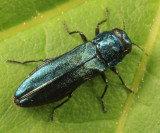 Agrilus cyanescens