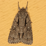 9229 - Speared Dagger Moth - Acronicta hasta