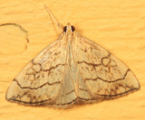 4897 - Purple-backed Cabbageworm - Evergestis pallidata