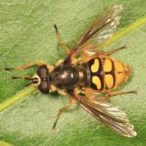 Syrphif Flies - tribe Sericomyiini