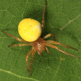 Six-spotted Orb Weaver - Araniella displicata