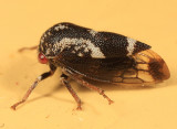 Ophiderma pubescens or definita