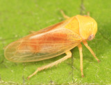 Oncopsis citrella (female)