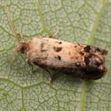3209 - Notocelia purpurissatana