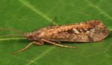 Limnephilus sericeus