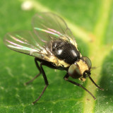Leaf-mining Flies -  Agromyzidae
