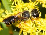 Ectemnius decemmaculatus