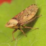 Aphrodes sp. (female)