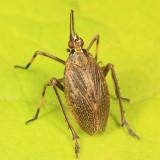 Partridge Bug - Scolops sulcipes