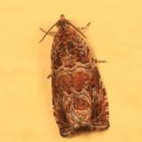 2810 - Olethreutes sericoranum