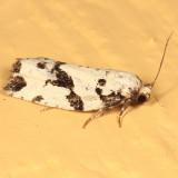3666 - Boldy-marked Archips - Archips dissitana
