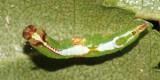 7995 - Wavy-Lined Heterocampa - Heterocampa biundata