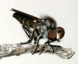 Holopogon phaeonotus