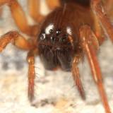 Amaurobius borealis (female)